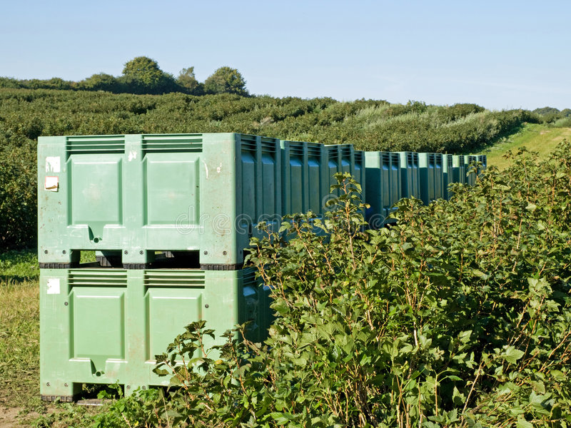 Crates in the field. During harvest of blackberries stock photography