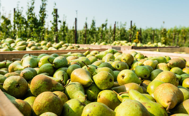 Crates with picked pears in the orchard. Closeup of picked Conference pears in wooden crates and in the background the orchard with low apple trees stock photography
