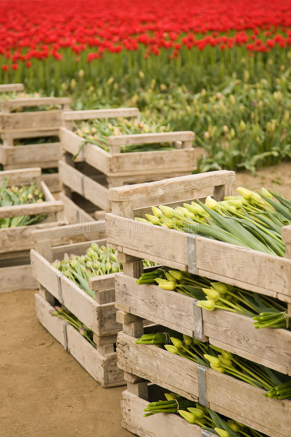 Crates of tulips. Crates of fresh cut tulips stock images