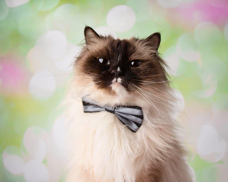 Cravatta a farfalla osservata blu di Cat Close Up Face Wearing della razza di Ragdoll fotografie stock