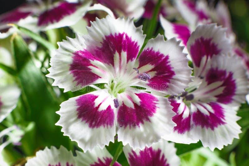 Cravina dianthus chinensis Flowers. & x28;China Pink& x29 stock photos