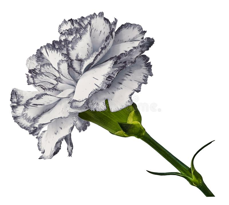Cravo branco Floresça em t um fundo isolado branco com trajeto de grampeamento Close-up Nenhumas sombras Disparado do cravo-da-ín imagem de stock royalty free