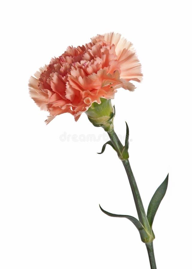 Download Cravo cor-de-rosa imagem de stock. Imagem de isolado - 16867555