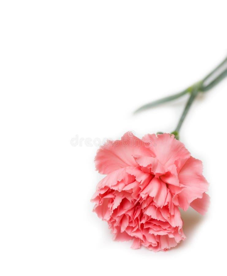 Cravo cor-de-rosa fotos de stock royalty free