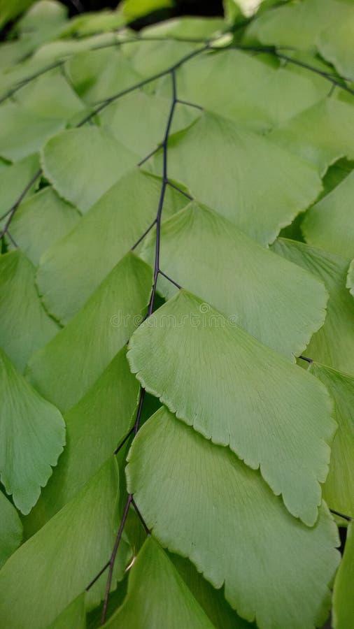 Cravo-da-índia verde fotografia de stock