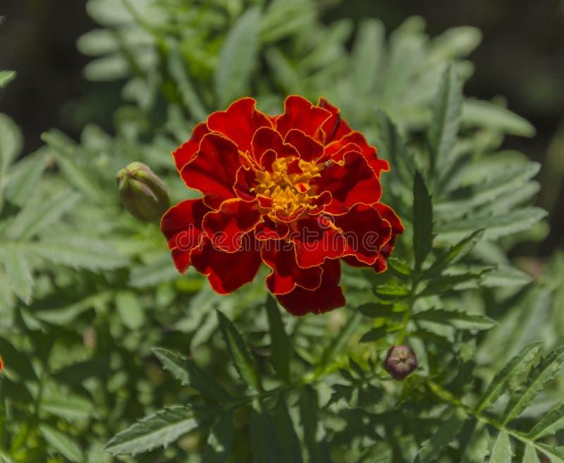 Cravo-de-defunto bonito da flor foto de stock
