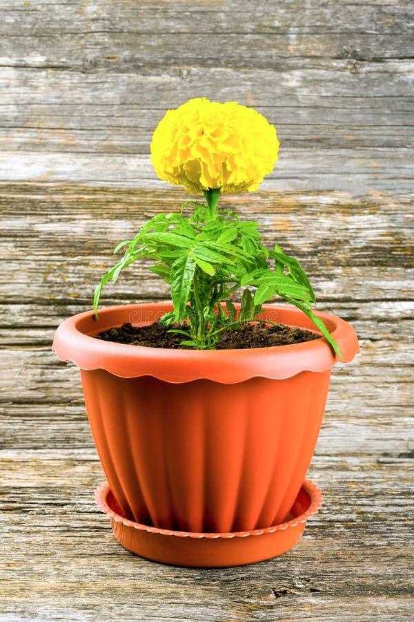 Cravo-de-defunto da flor em um potenci?metro fotografia de stock