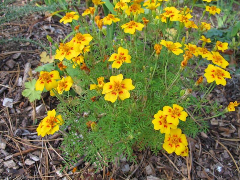 Cravo-de-defunto do sinete com cabeças de flor em cores amarelas e alaranjadas fotos de stock royalty free