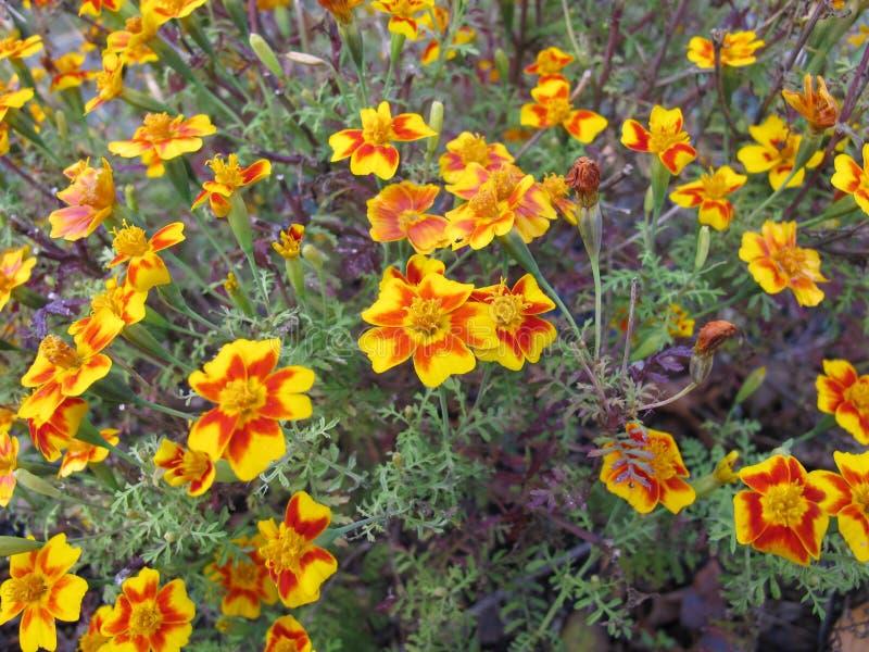 Cravo-de-defunto do sinete com cabeças de flor em cores amarelas e alaranjadas imagem de stock