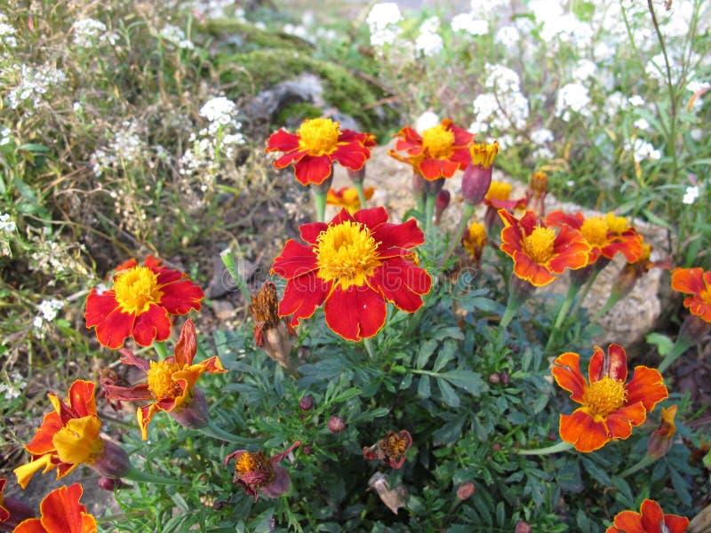 Cravo-de-defunto do sinete, tenuifolia de Tagetes, com flores imagem de stock royalty free