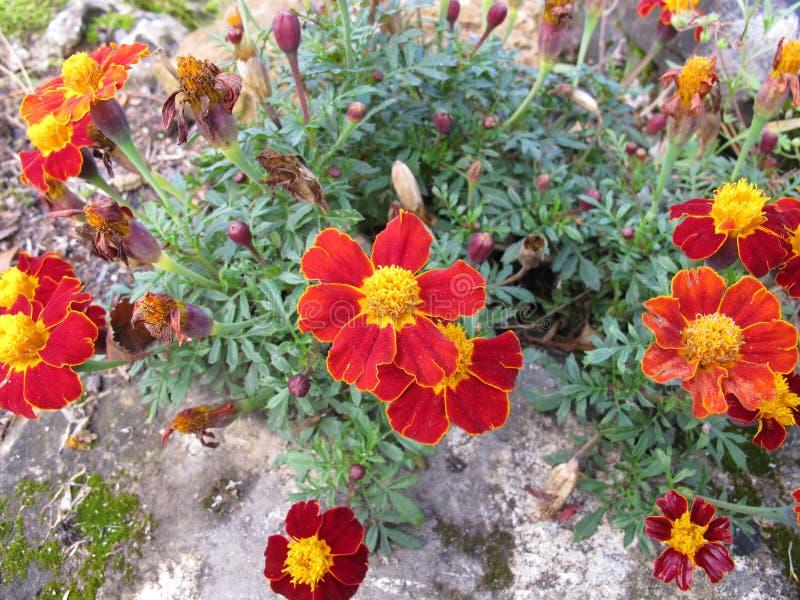 Cravo-de-defunto do sinete, tenuifolia de Tagetes, com flores foto de stock royalty free