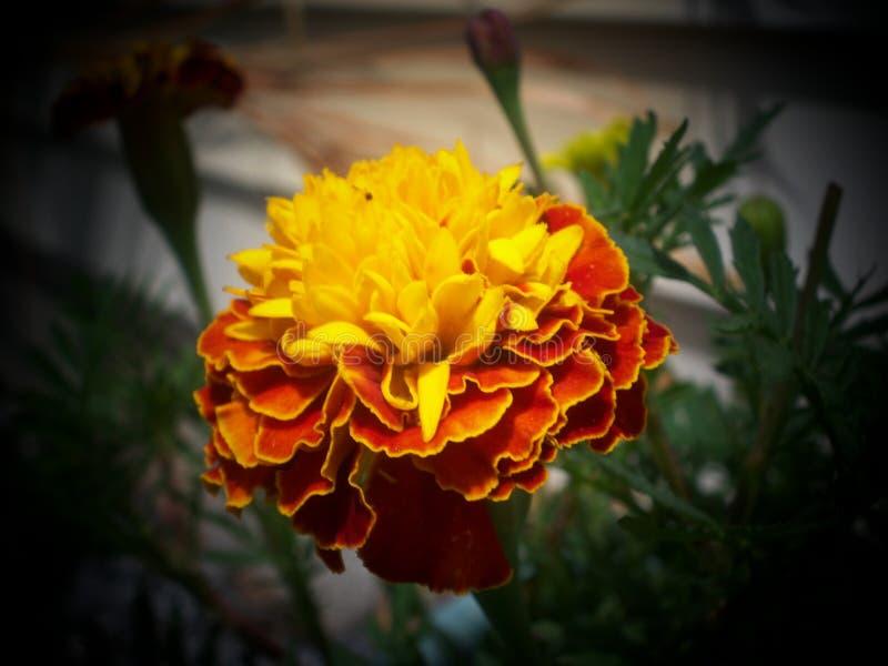 Cravo-de-defunto de florescência - amarelo com franja alaranjada fotografia de stock royalty free
