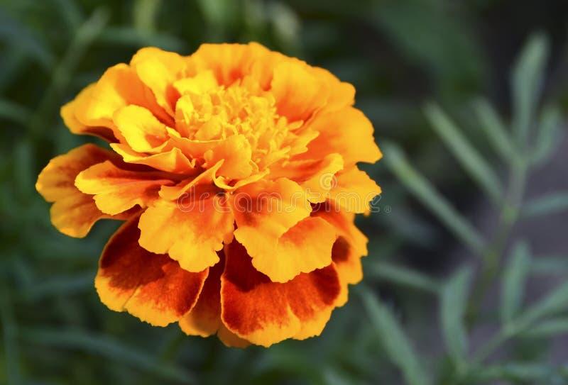 Cravo-de-defunto franc?s amarelo alaranjado ou de patula de Tagetes flor no jardim do ver?o Fundo floral dos cravos-de-defunto co foto de stock royalty free