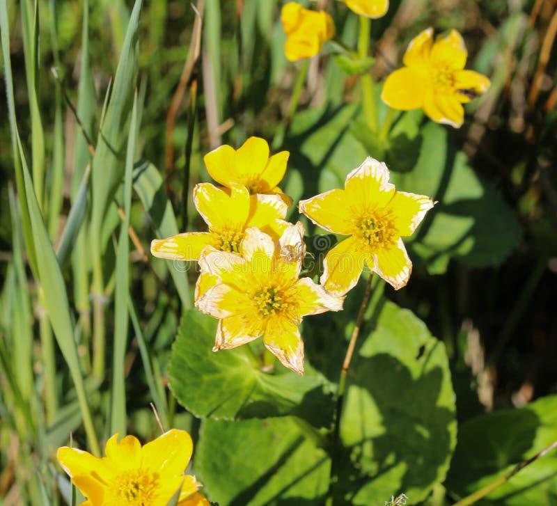 cravo-de-defunto de pântano ou kingcup (palustris do Caltha imagens de stock royalty free