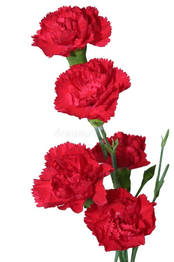 Cravo vermelho fotografia de stock royalty free