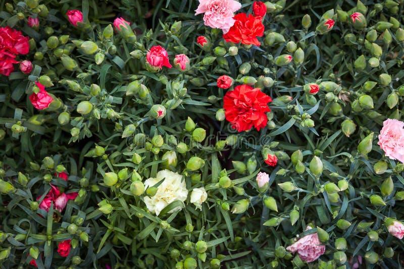 Cravos coloridos de florescência na estufa fotos de stock royalty free