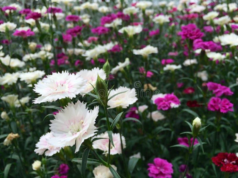 Cravos cor-de-rosa e brancos que crescem no jardim imagens de stock