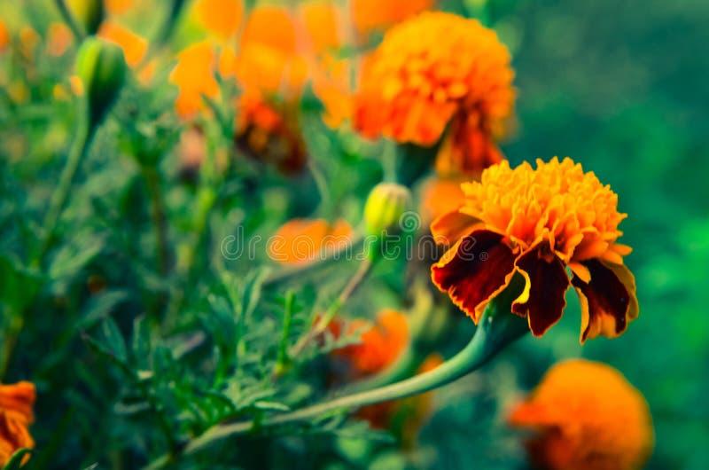 Cravos-de-defunto alaranjados e amarelos brilhantes no jardim fotos de stock