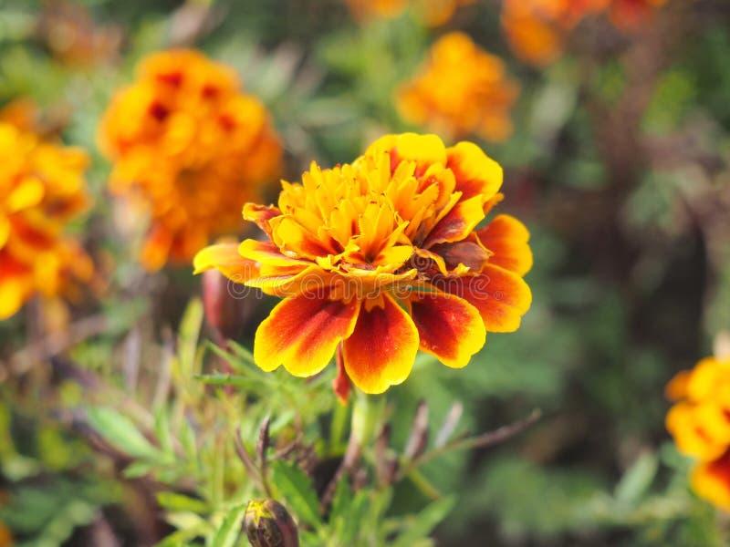 Cravos-de-defunto da flor do jardim imagens de stock royalty free