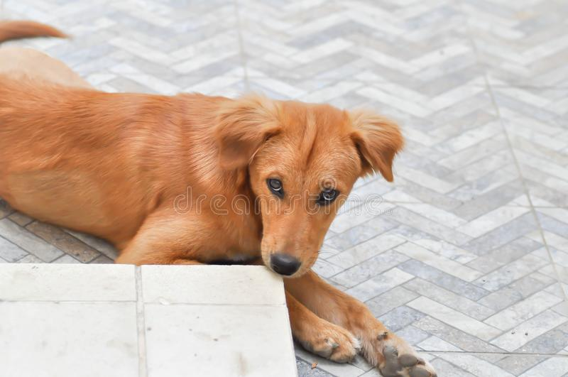 Craw dog or brown dog. On the floor royalty free stock photo