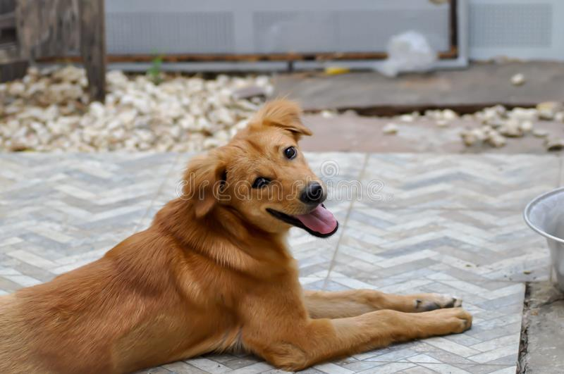 Craw dog or brown dog. On the floor stock photography