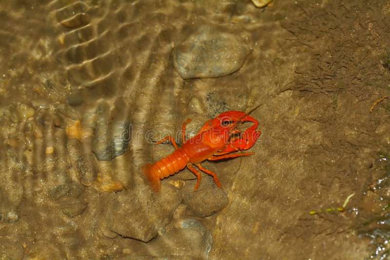 Crawdad. In a pool created by sluice at old grist mill royalty free stock photos