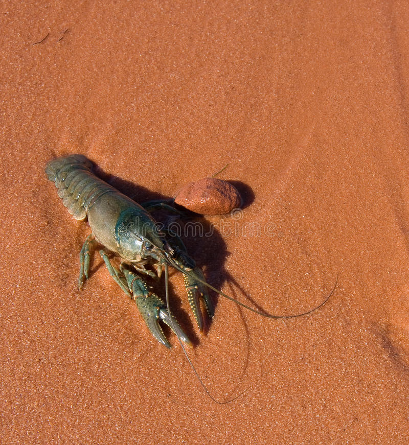 Crawdad. Crayfish in close-up on the shore (copy-space stock image