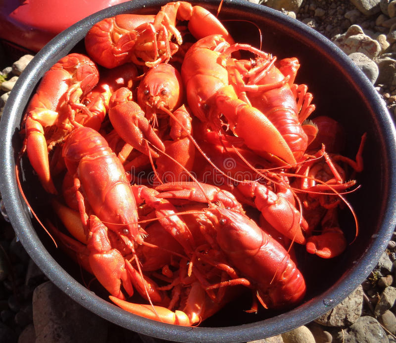 Crawdad Catch of the Day. Fresh crawdads caught and cooked on the river bank royalty free stock photography