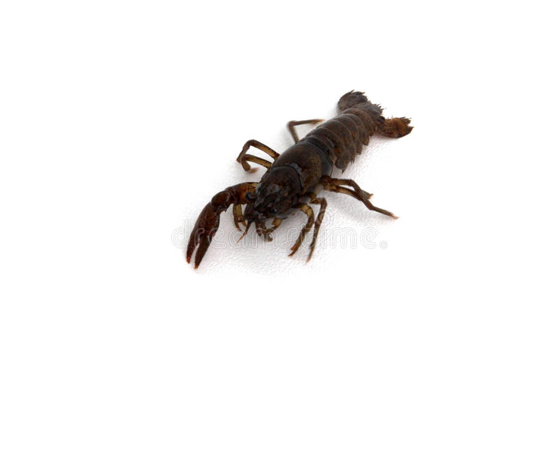 Crawdad. A crawdad isolated on a white background stock images