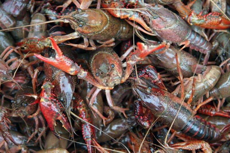 crawfish живут стоковое фото rf