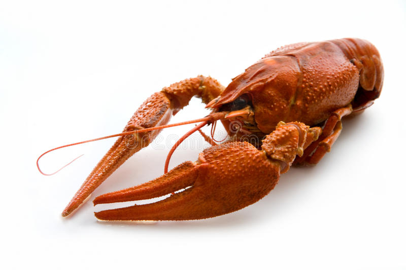 Crawfish. A big cooked crawfish (Astacoidea) isolated on white studio background royalty free stock images