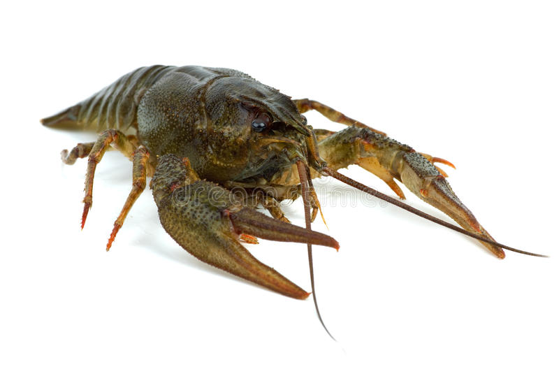 Crawfish. Isolated on the white background stock image