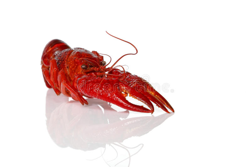Crawfish. Big crawfish on an isolated background royalty free stock photos