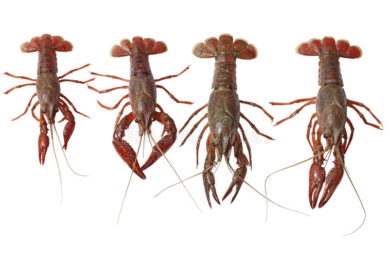 Crawfish. Set of four live crawfish isolated on white stock photography