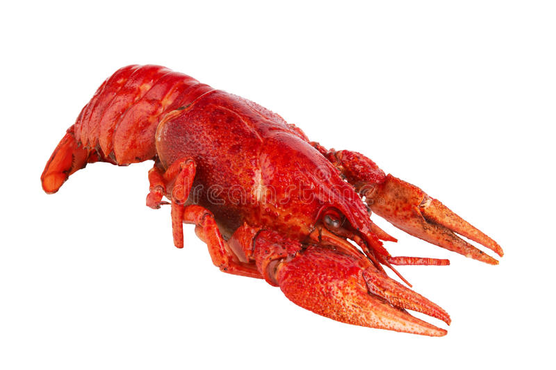 Crawfish. Is isolated on a white background royalty free stock image