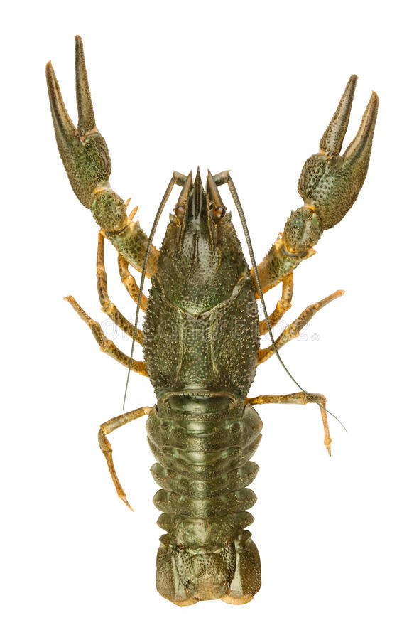 Download Crawfish alive one stock photo. Image of photography - 26796286