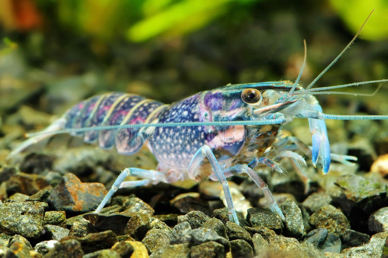 Crawfish. The blue crawfish in a freshwater aquarium royalty free stock photography