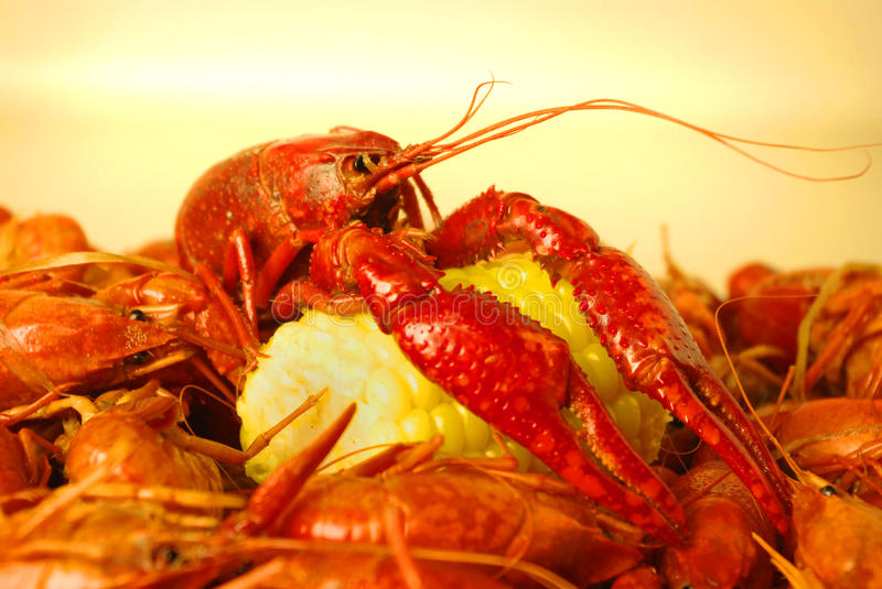 Crawfish Boil. A boiled Louisiana crawfish (crayfish) resting with its claws on an ear of corn stock photo