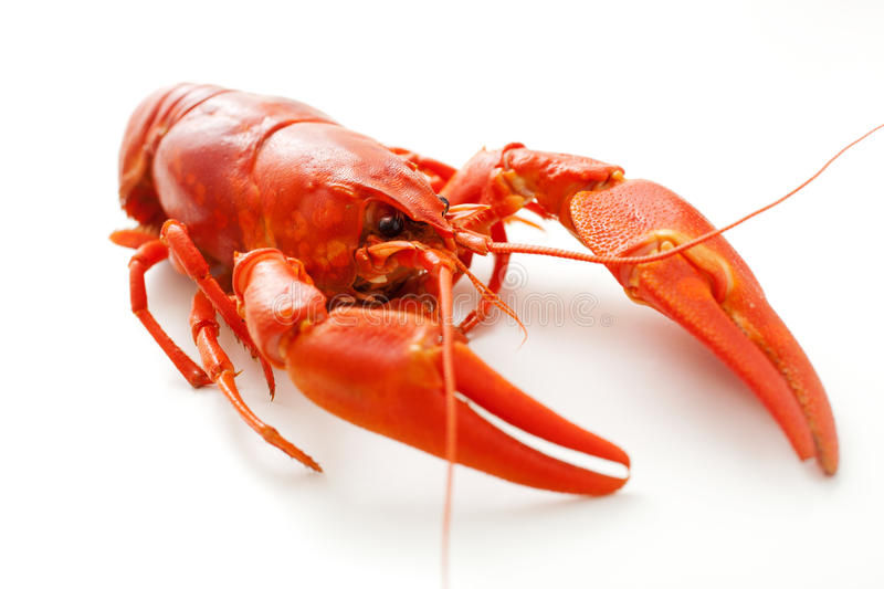 Crawfish. Fresh boiled crawfish on white isolated background royalty free stock photos