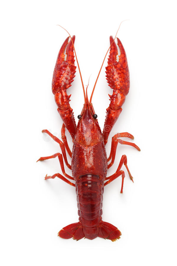 Crawfish. Isolated on white background stock image