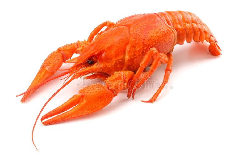 Crawfish isolated on white background. Beer brewery concept. Beer background stock photography
