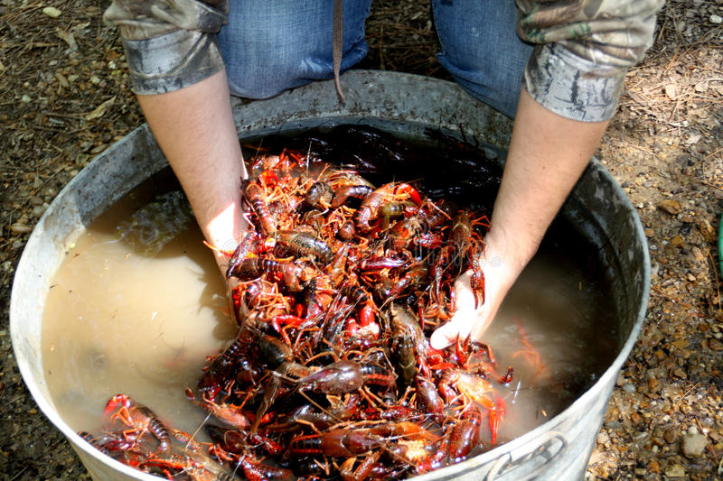 Crawfish. Live crawfish purging in a washtub of salt water before boiling stock photography