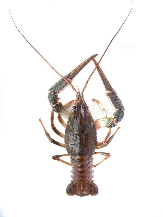 Download Crawfish stock image. Image of wild, freshness, object - 30253343