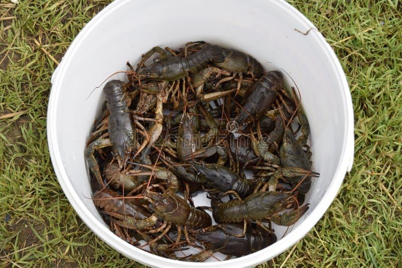 Crawfishes влажное, в реальном маштабе времени, уловлено от воды стоковые фотографии rf