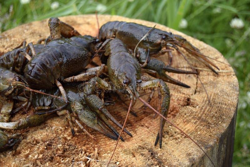 Crawfishes влажное, в реальном маштабе времени, уловлено от воды r стоковое изображение