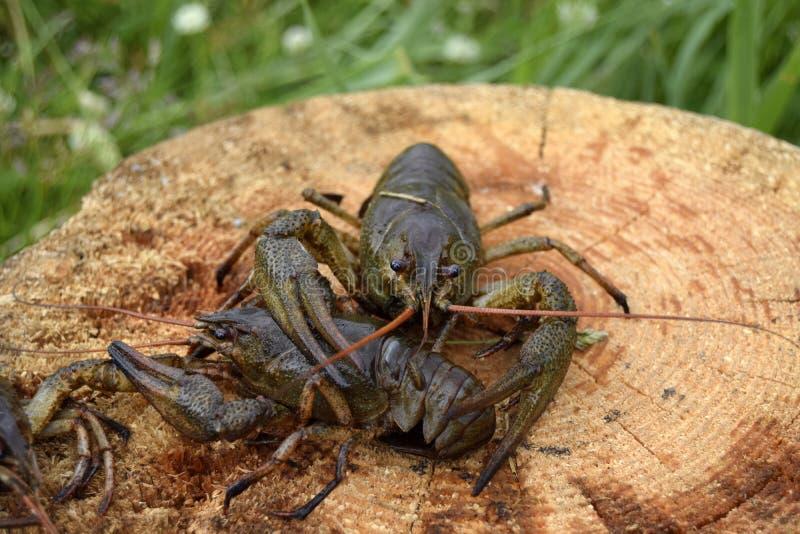 Crawfishes bagnato, in tensione, è preso dall'acqua fotografia stock libera da diritti