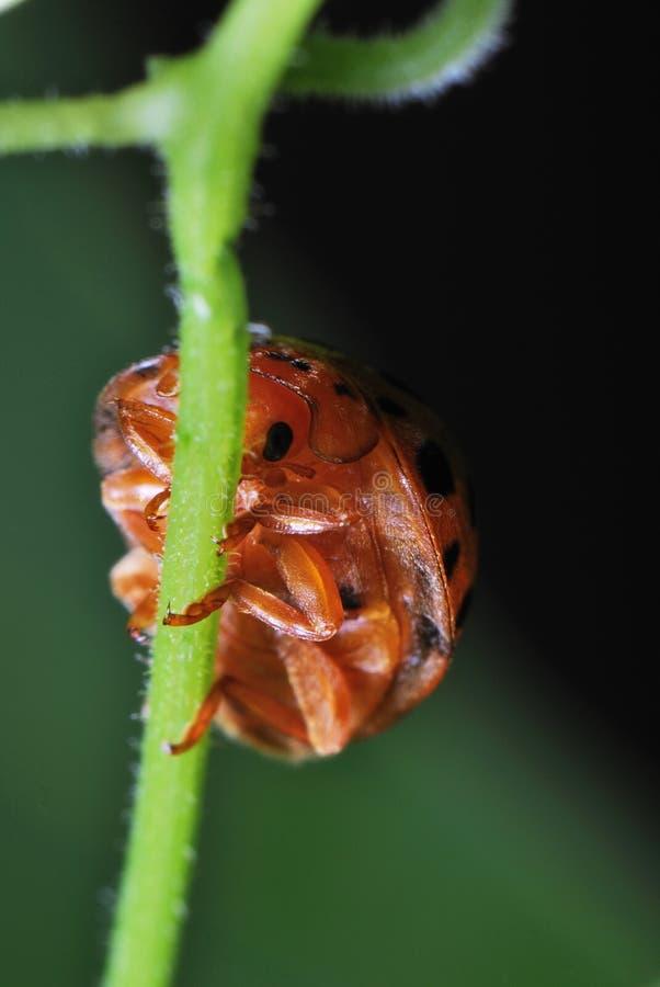Crawl della coccinella fotografia stock