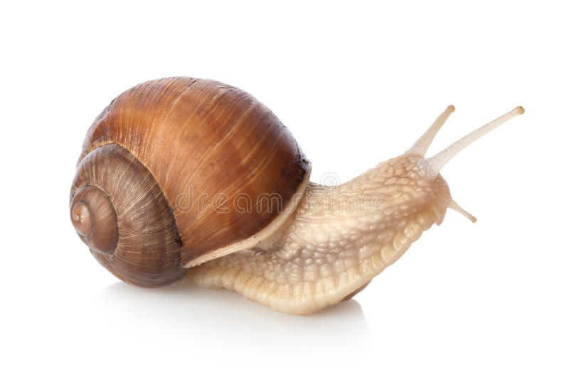 Crawling snail. Isolated on a white background stock images