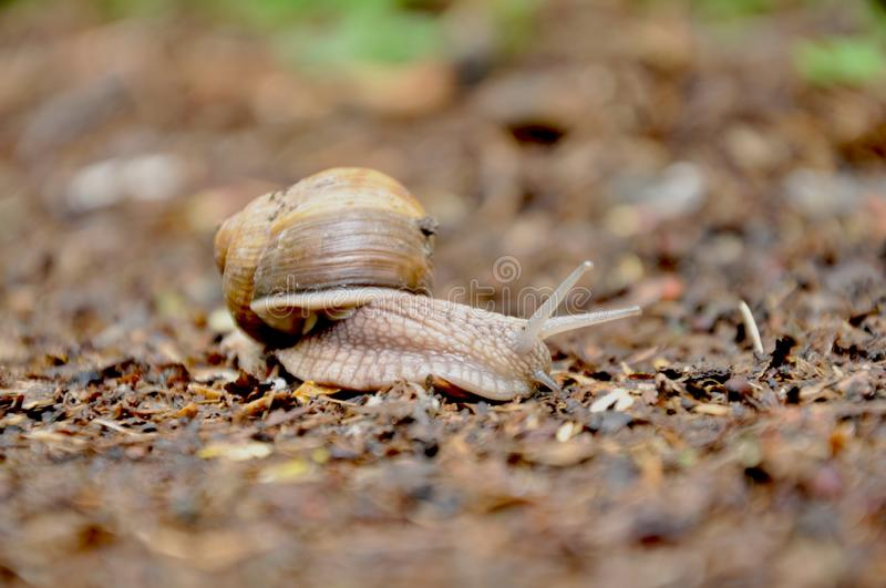 Crawling snail with a house stock photo