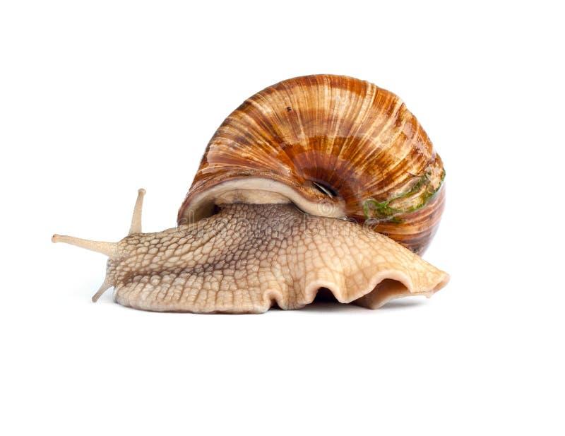 Crawling snail isolated on white background stock photos